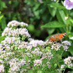 お花と孔雀蝶