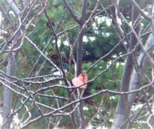八重桜最後の一枚