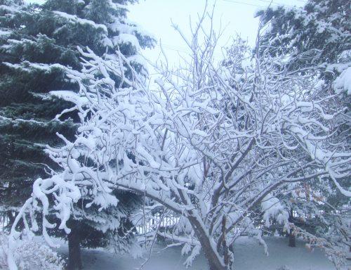 八重桜に咲いた雪